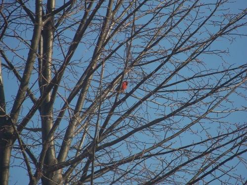 Official Cardinal sighting!!!!!!!