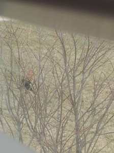Can you see him? It's a brown headed cowbird. What? That's a REAL THING.
